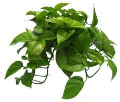 06-pothos-green-jade